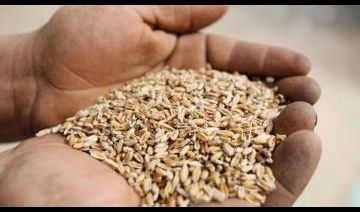 قائممقام سنجار : الحنطة والشعير في سنجار وسهل نينوى ستدر بالخير على العراق