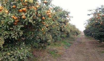 العراق يعلن تحقيق الاكتفاء الذاتي من البرتقال