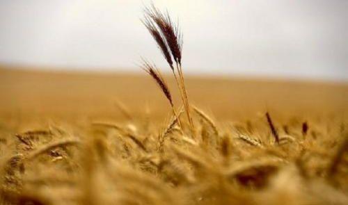 الزراعة: حصاد 40 % من إجمالي المساحات المزروعة بالحنطة والشعير في نينوى