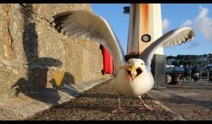 بريطاني يعض طائر نورس اختطف شطيرته