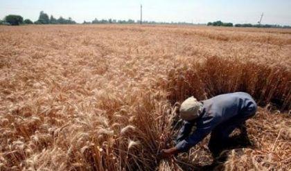 الزراعة: المباشرة بتوزيع بذور الرتب العليا لمحصول الحنطة
